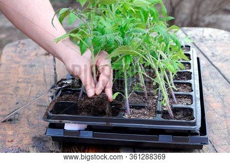 Farmers Hand Planting Tomato Seedlings. Seedling Tomatoes In The Hand. Hand Holding Young Seedlings