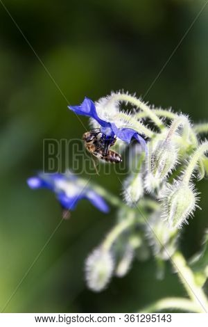 Insect Pollination Of A Borage Flower. Beautiful Image Of A Plant With A Blurry Green Background.