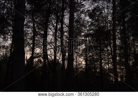 Sunset In Pine Forest Nature Background. Dark Background Of Pine Forest In Sunset.last Sun In Forest