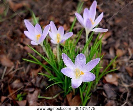 Group Of Lilac Crocuses Botanical  Cultivar Tommasinianus. The Earliest Flowering Crocuses  Of The F