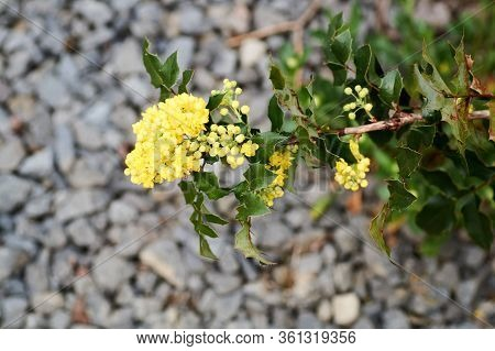 Ilex Aquifolium Holly, Common, English Holly, European Holly, Or Occasionally Christmas