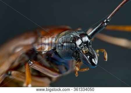 This Is A Titan Beetle Or Beetle Titanium Or Longhorned Beetles Taken Photo From Thailand