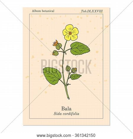 Bala Sida Cordifolia , Or Country Mallow, Flannel Weed, Medicinal Plant. Hand Drawn Botanical Vector