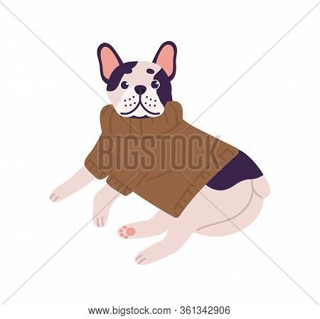 Adorable Friendly French Bulldog Breed Wearing Knitted Sweater Lying Isolated On White Background. C