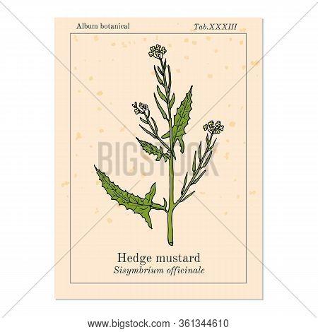 Hedge Mustard Sisymbrium Officinale , Medicinal Plant. Hand Drawn Botanical Vector Illustration