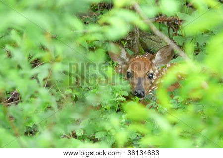 fawn hiding in bushes