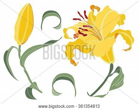 Asian Lily Yellow Flower And Bud, Colored Illustration