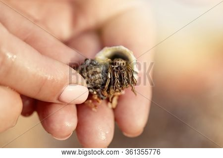 Cancer In The Shell. Cancer Hermit. Hermit Crab Habitat. Girl Olding A Little Cancer Hermit