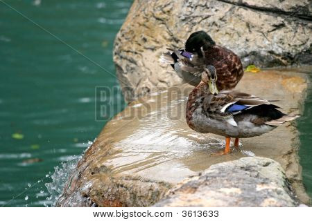 Ducks Bathing At The Top Of A Small Waterfall