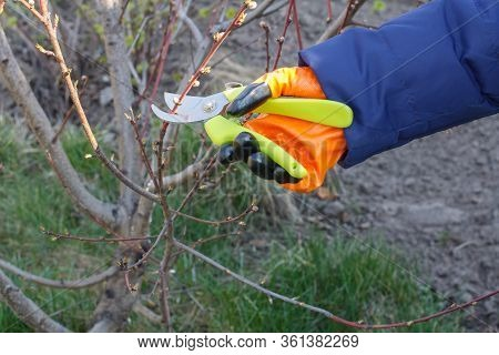 Female Farmer Look After The Garden. Spring Pruning Of Peach Trees. Woman With Pruner Shears The Tip