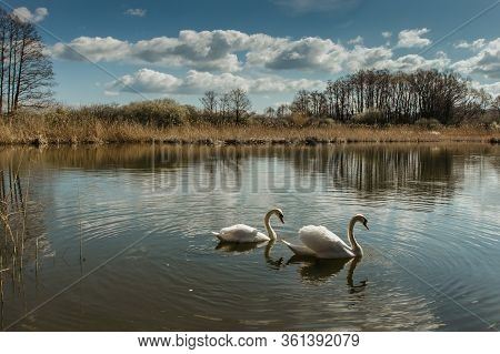 Two White Swans Water Scene. Beautiful Wild Swans Swimming In The Lake. Swans On The Water In Spring