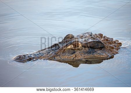 Portrait Of A Beautiful Large Caiman On The Water Surface In The Form Of A Snag In Its Natural Habit