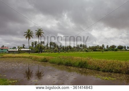 View Of A Bright Green Rice Field With A Canal Of Palm Trees Against A Background Of Storm Clouds. S