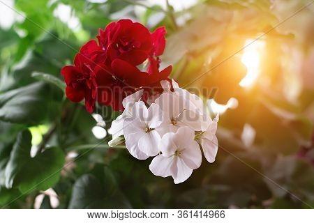 Pelargonium Flowers Closeup. Horseshue Pelargonium Or Pelargonium Zonale. Selective Focus