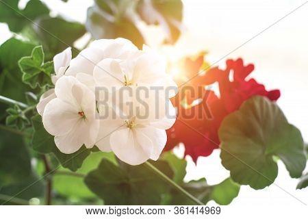 Pelargonium Flowers Closeup. Horseshue Pelargonium Or Pelargonium Zonale. Selective Focus.