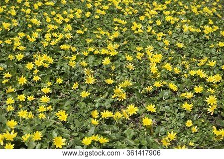 Yellow Anemone Windflower Whole Throughout Close Up Closeup