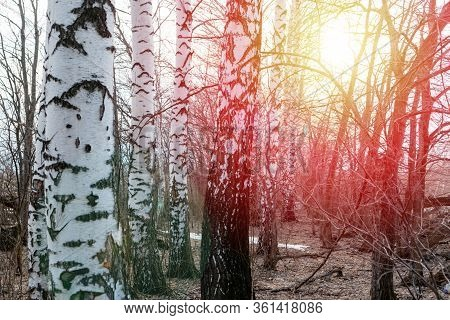 Birch Grove In The Spring During The Collection Of Birch Sap. The Birch Grove Is Backlit By The Sun.