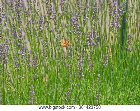 Close Up Of Medicinal Lavender Plant Stems In The Field Near Oklaj In Croatia For Growing A Medicina