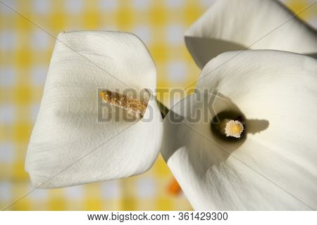 White Madeira Flowers At The Town Of Santana In North Of The Island Madeira Of Portugal.   Portugal,