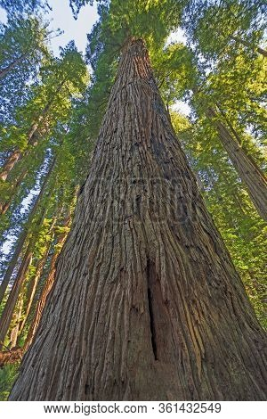 Looking Up The Trunk Of A Coastal Redwood In The Stout Grove In The Jedidiah Smith Redwoods State Pa