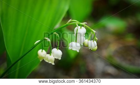 A Traditional Flower For Good Luck. Lily Of The Valley Blooming In Spring, Often On The First Of May