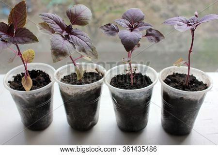 Purple Basil Seedling Sprouts In Plastic Pots On The Windowsill With Flowering Trees View. Growing H