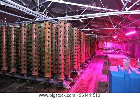 Growing Plants Aeroponics. Unique Production Of Greenery And Plants. Aeroponic System In Plant Produ