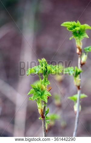 Sprout And Buds Of Black Currant. Buds On The Bushes. Young Plants. Early Sring. Gardening. Spider M