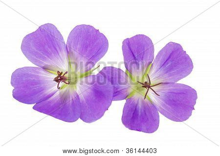 Purple Cranesbill flowers