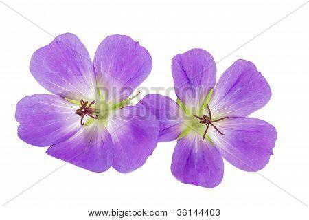 Purple Cranesbill flowers