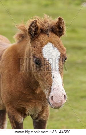 A Beautiful Dartmoor Pony Foal in Dartmoor National Park Devon England poster