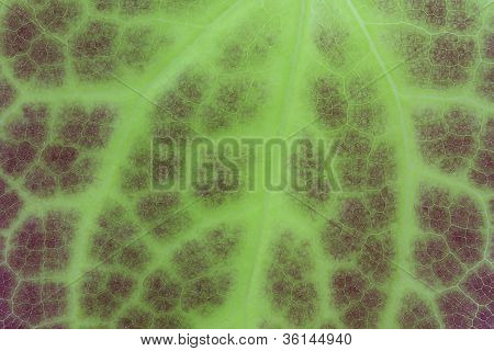 Green leaf of an Epimedium flower, closeup