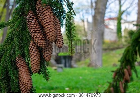 Large Pinecones Hanging From A Fallen Pine Tree In A Park