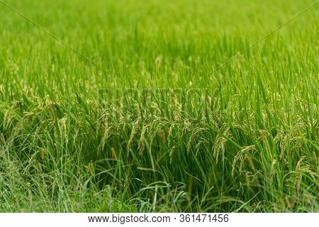 Rice Plant Close Up. Green Ripe Rice Cereal Plant With Grains Growing On A Field