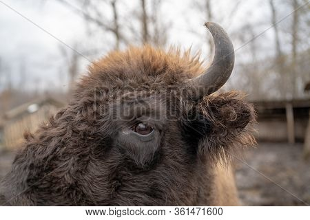 Close Up Of Large Brown Buffalo In Enclosure. Horned Buffalo In Preserve Park.