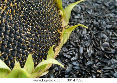 Ripe Sunflower And Seeds