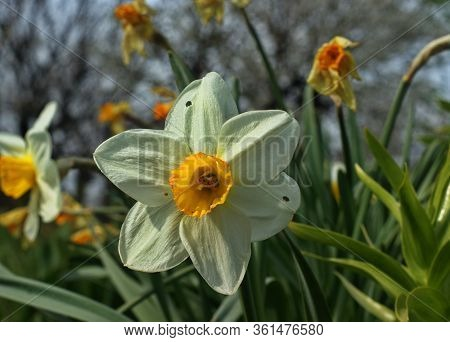 Narcissus Field In Bloom On Spring, Many Narcissus Flowers
