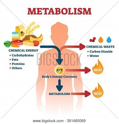 Metabolism Vector Illustration. Labeled Chemical Energy Educational Scheme. Explanation Diagram With