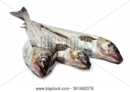 Freshly caught alaska pollock fish isolated on white