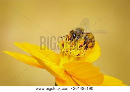 Image Of Bee Or Honeybee On Yellow Flower Collects Nectar. Golden Honeybee On Flower Pollen. Insect.