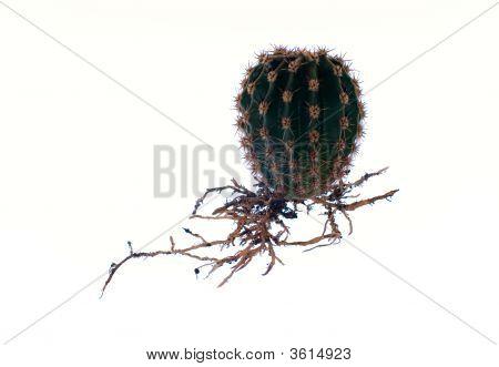 Little Round Cactus