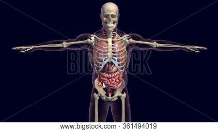Human Digestive System Consists Of The Gastrointestinal Tract Plus The Accessory Organs Of Digestion