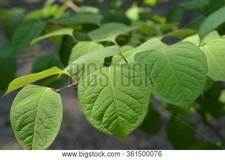 Asiatic Knotweed - Latin Name - Fallopia Japonica