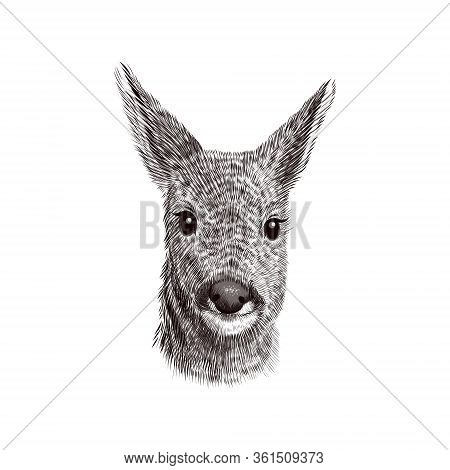 Roe Deer Cub Sketch, Vector Illustration. Hand Drawn Wild Animal Head Portrait