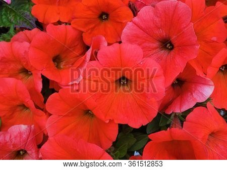 Colorful Red Petunia Flowers. Close Up Of Petunia Flowers Bloom. Petunia Blossoming Red Petunia Flow