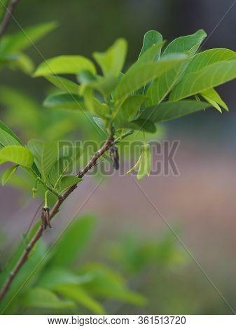 Flower Fruit Custard Apple Tree, Sugar Apple, Sweetsop, Or Anon, Annona Squamosa Plants Annona Squam