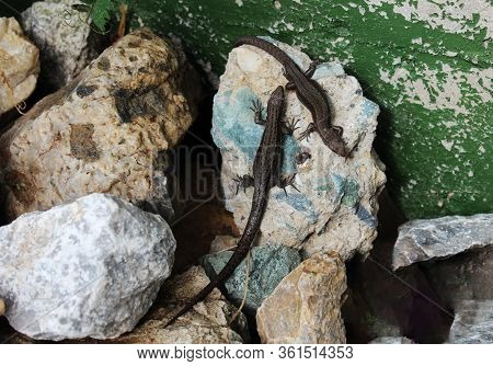 A Chaotic Pyramid Of Beautiful Stones Of Different Sizes And Two Lizards On One Of The Stones. Commo