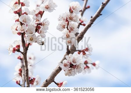 White Flowers On An Apricot Tree Branch In The Cloudy Blue Sky. On One Flower, A Bee Collects Pollen