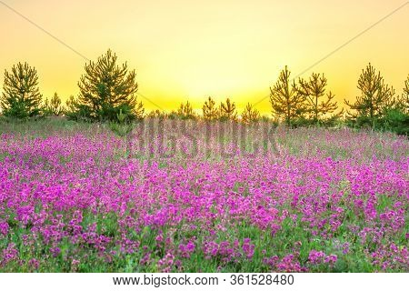 Beautiful Amazing Spring Landscape With  Flowering Purple Flowers In Meadow And Sunrise. Wildflowers