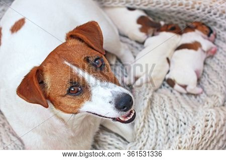 Mom Jack Russell Terrier With Her Newborn Puppies In Her House, Mom's Day